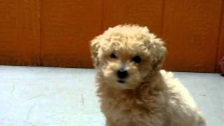Maltipoo, Maltese, Toy, Poodle, Mix, Puppies, For, Sale, Playing, Www.19breeders.com