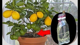 Teknik Cangkok Air Pada Jeruk Lemon
