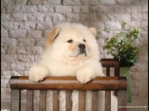 Chow Chow Dog Breed | Chow Chow Facts | Dogs 101 Chow Chow