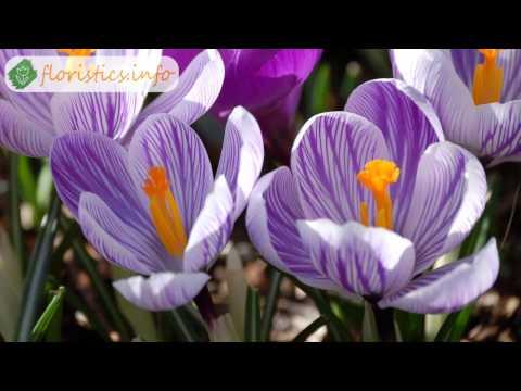 Цветы крокусы или шафран – разновидности и сорта