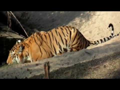 World Tiger Day- A crew Film