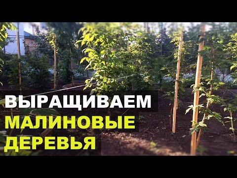 Как вырастить малиновое дерево?   недвижимость   садоводство   загородная   малиновое   огороде   своими   руками   работы   огород   дерево