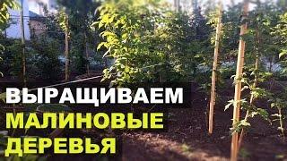Малина: посадка, выращивание и уход: видео,фото