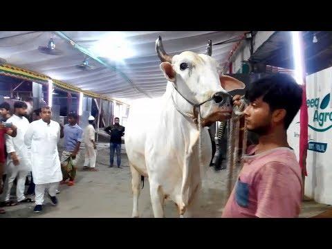 Qurbani Eid 2019 II White Big Bull Showing for Sale.