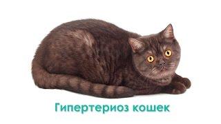 Гипертиреоз кошек. Ветеринарная клиника Био-Вет.