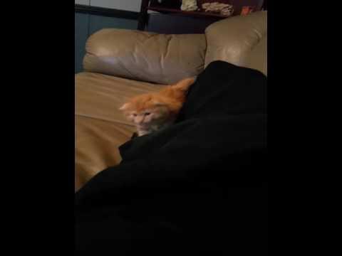 Munchkin Scottish Fold kitten