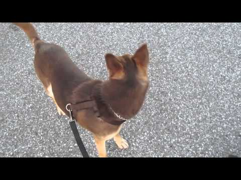 How to walk a Kelpie