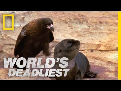 Bird of Prey Attacks Baby Seals | World's Deadliest