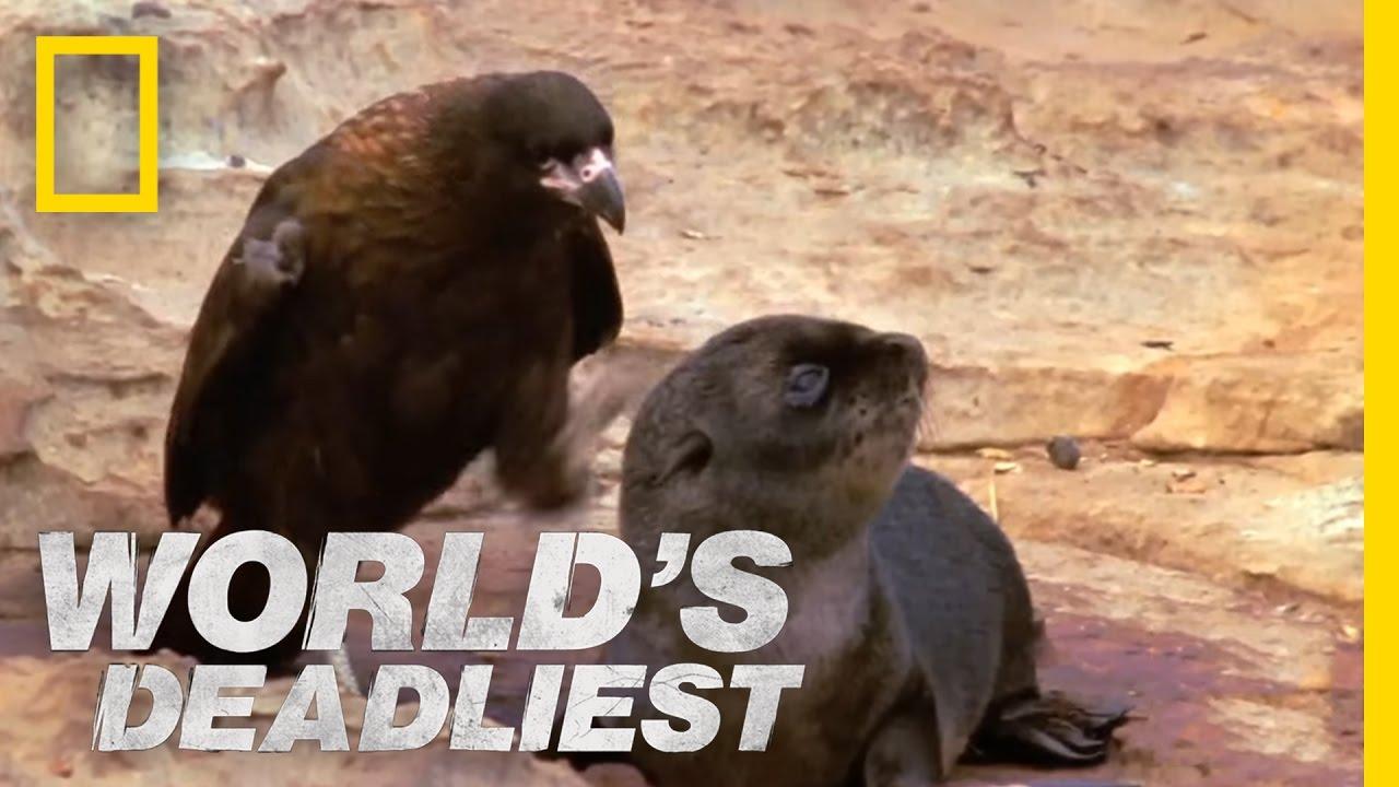 Bird of Prey Attacks Baby Seals | World's Deadliest
