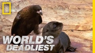 Bird of Prey Attacks Baby Seals | World