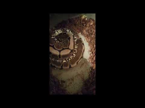 Python Babies Nurtured By Snake Mom In First Ever Footage Nat Geo Wild Youtube