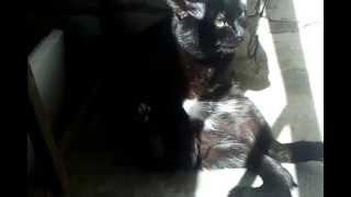 кот дрочит