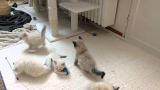 Ragdoll kittens playing after dinner (5-6 weeks old)
