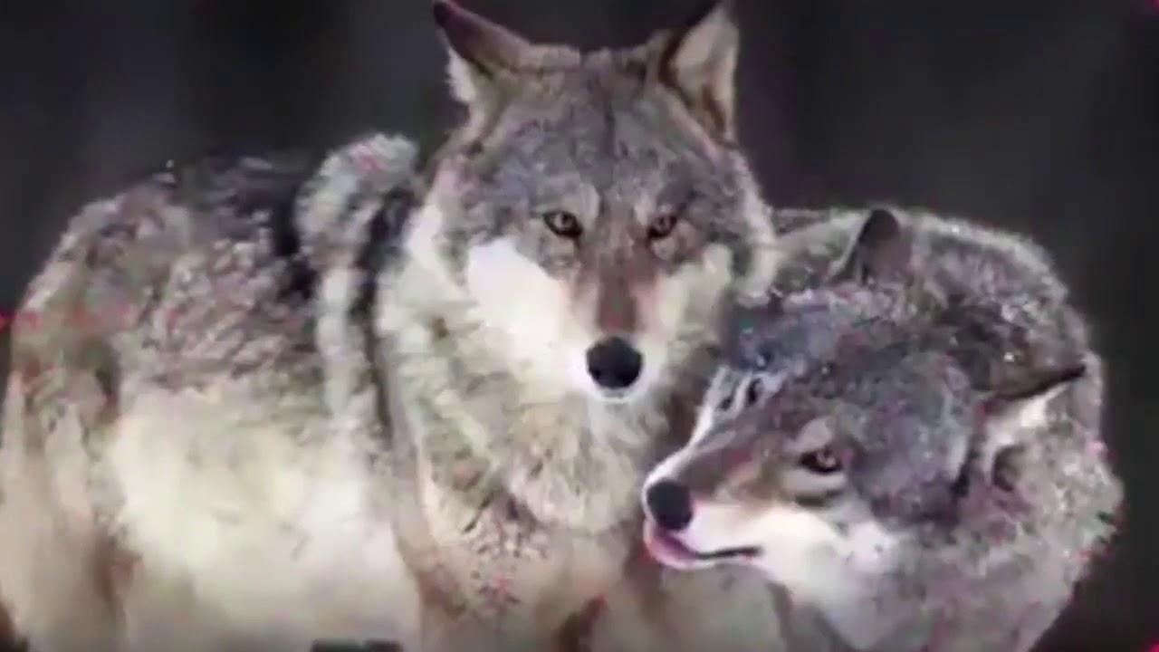 Что общее между волком и человеком  Будь как волк!