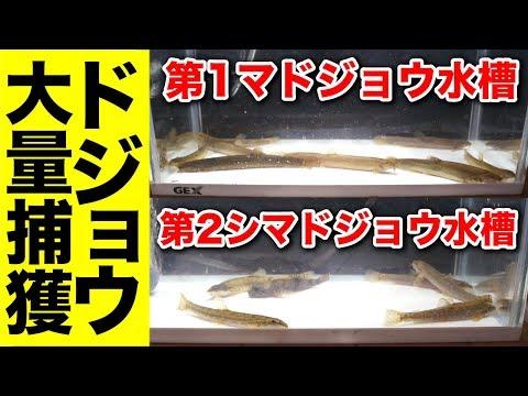 庭の池魚キラーで新しい魚を捕まえよう⑤ #121 2018811