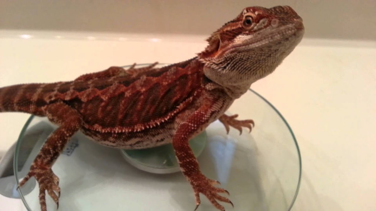 Mordecai Red Bearded Dragon - YouTube