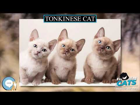 Tonkinese cat 🐱🦁🐯 EVERYTHING CATS 🐯🦁🐱