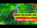 Suara Burung Derkuku Tekukur Bersih Cocok Untuk Pikat Di Alam  Mp3 - Mp4 Download