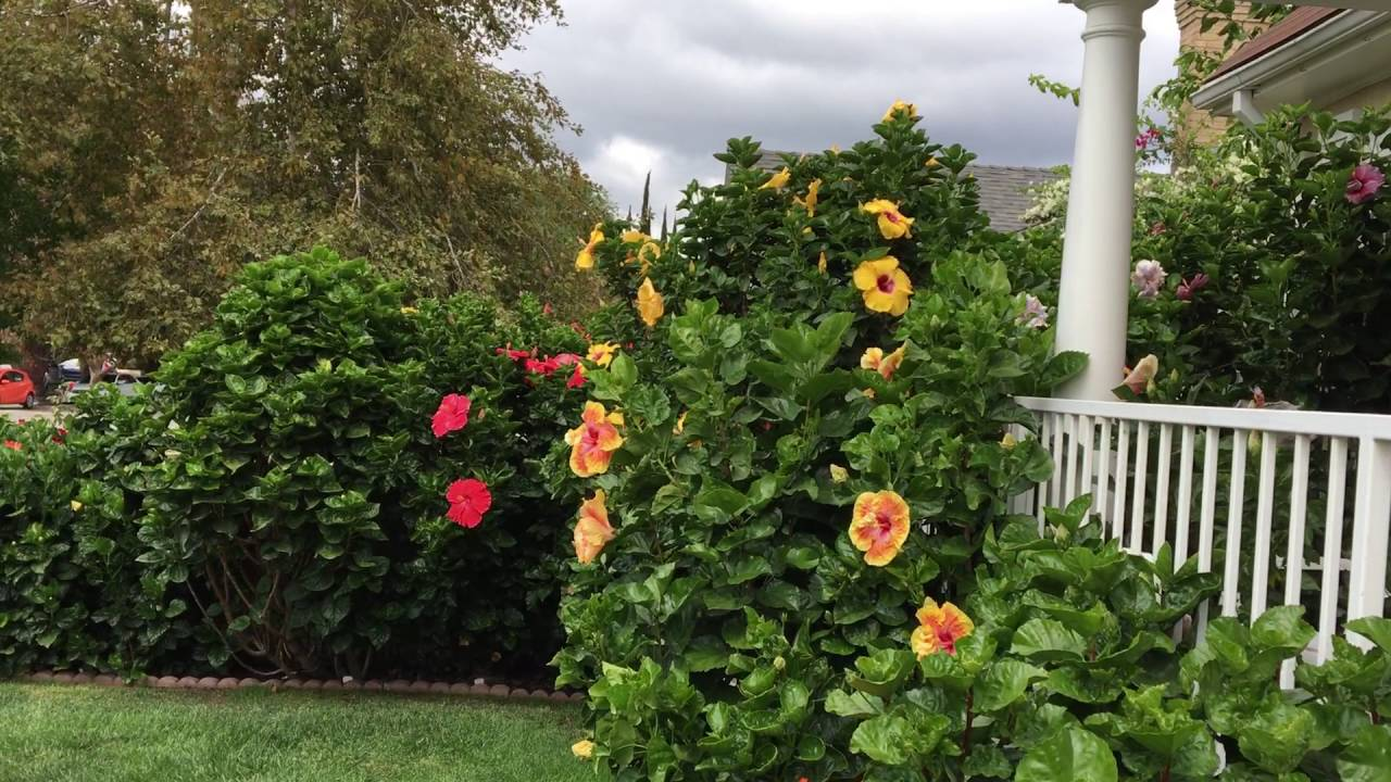 exotic hibiscus landscaping