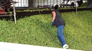 Hop Harvest 2016: From Gooding Farms to Payette Brewing