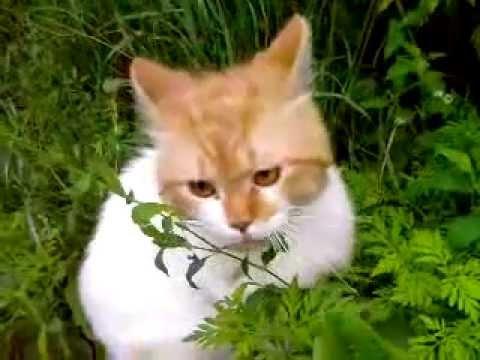 Кот и конопля семя конопли распаренное