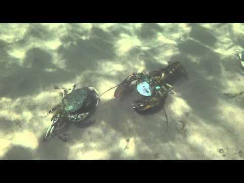 Lobster vs Crab