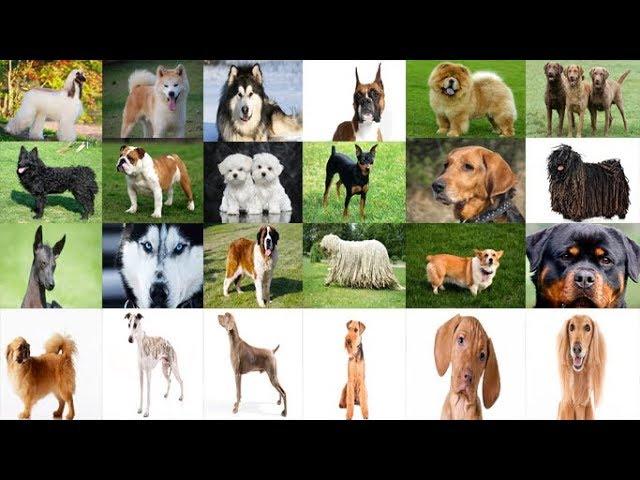 Köpek Cinsleri – 217 FARKLI KÖPEK TÜRÜ !!