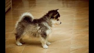 ポメラニアンとシベリアンハスキーも♡ミックス犬かわいい♡~Pomeranian ...