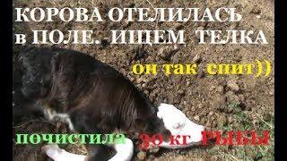 КОРОВА ОТЕЛИЛАСь в ПОЛЕ - 2 ДНЯ ИСКАЛИ ТЕЛЕНКА # запасы РЫБЫ  на зиму