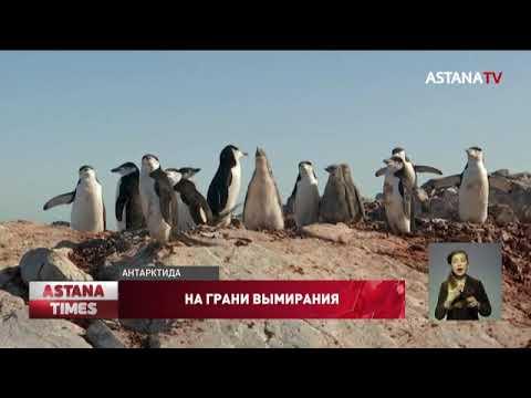 Пингвины Антарктиды на грани полного вымирания