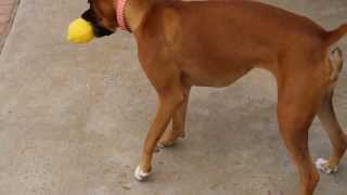 Young Boxer Puppy Plays With Lemon