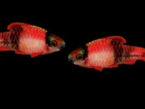Melon/Panda Barbs - Tropical Freshwater Fish For Sale