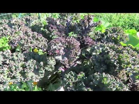 Вопрос: Как бланшировать капусту кале?
