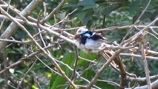 Family of superb fairy-wrens getting it together