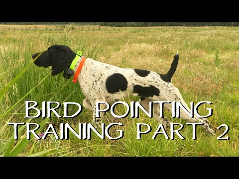 Pointing Birds: Upland Bird Dog Training - Part 2