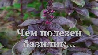 видео Базилик фиолетовый - полезные свойства и вред; выращивание; кулинарные фото рецепты