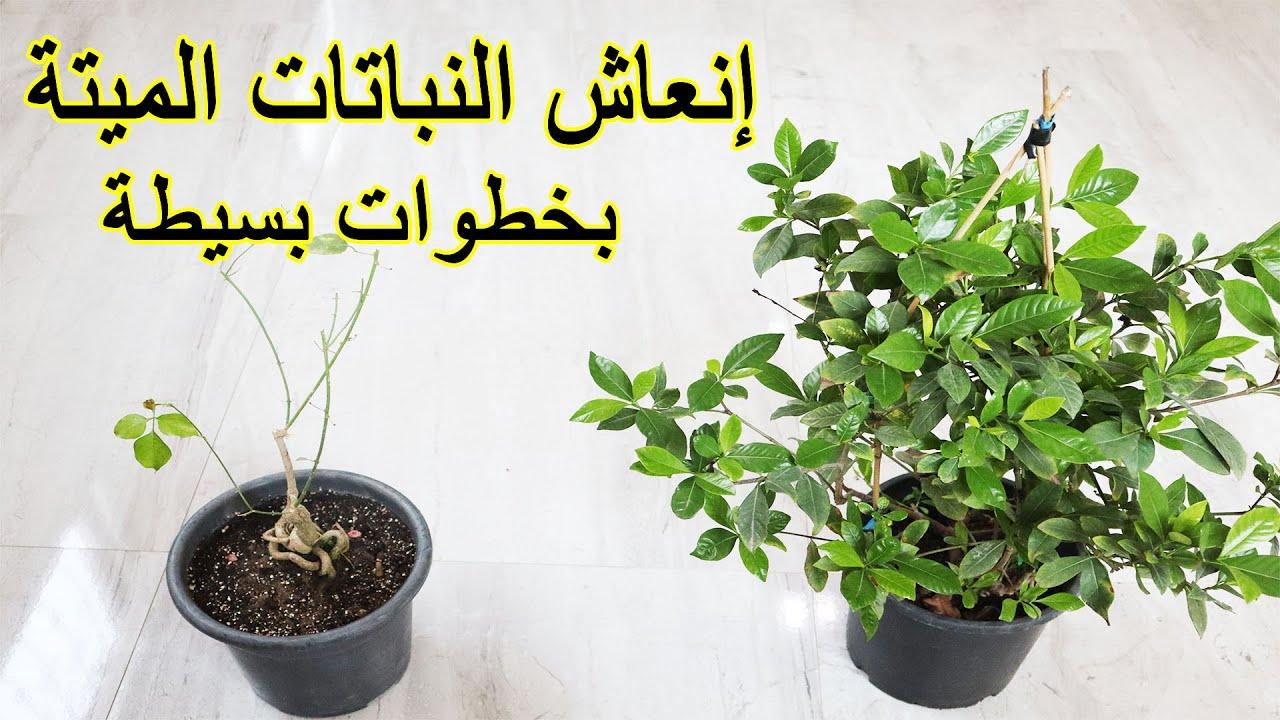 طريقة إنقاذ و إنعاش النباتات الميتة و الضعيفة بخطوات بسيطة