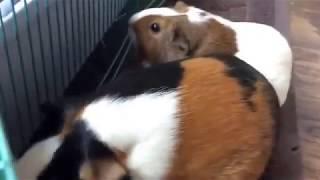 Hamsters meet guinea pigs!