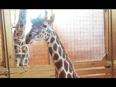 Thumbnail: April the giraffe's funniest moments