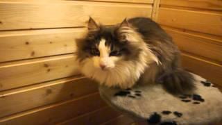 Норвежский лесной котик Ivar On Fashion Peak, 9,5 месяцев, часть 1