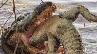 تمساح يقتل تمساح مشهد لا يصدق؟!!