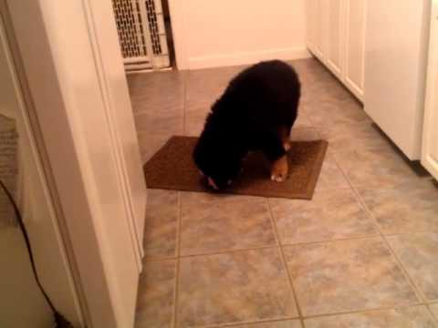 Bernese Puppy Vs Llbean Waterhog Doormat