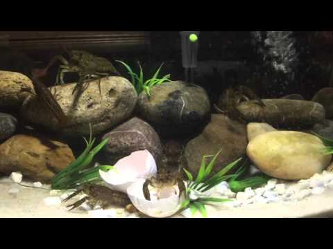 How To Keep Crawfish In A Fish Tank Aquarium DIY