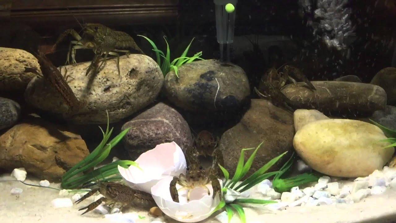 How to keep crawfish in a fish tank aquarium diy doovi for How to maintain fish tank