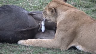 Lion eating buffalo and wildebeest testicles alive.