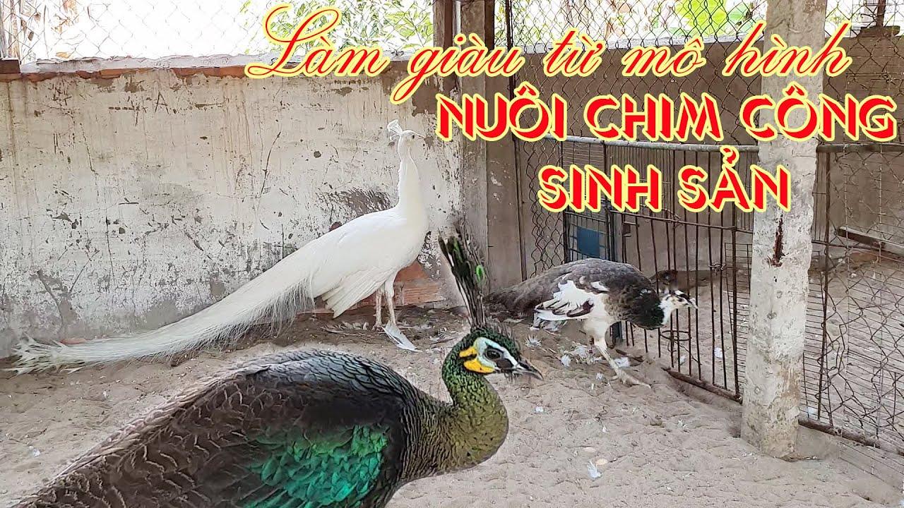 Làm giàu từ mô hình nuôi chim công sinh sản | Trại chim công Cần Thơ | Chim công miền Tây