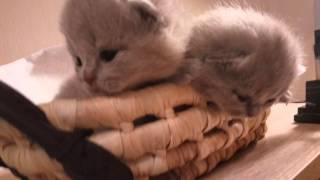 Маленькие лиловые британские котята в корзинке