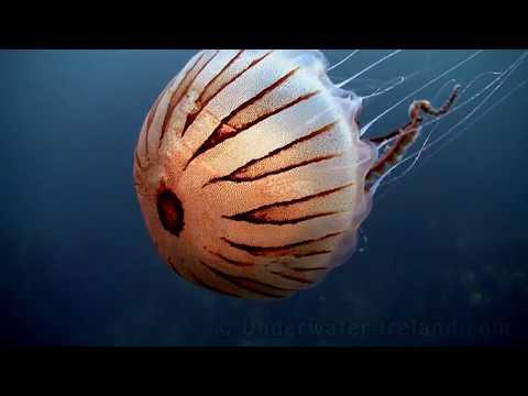 Sea Drifters (jellyfish / медуза /  Medusa / Meduze Underwater In Ireland). Watch In HD!