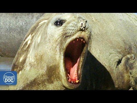 Elefantes Marinos: Patagonia Argentina