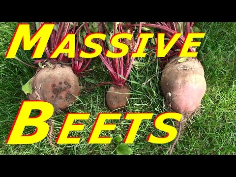 Harvesting & Processing Beet Root & Tops #121 Heirloom Organic Vegetable Garden